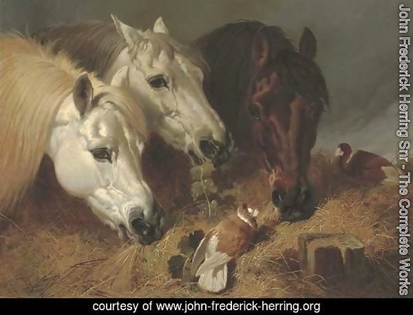 Horses feeding with two ornamental pigeons at a manger