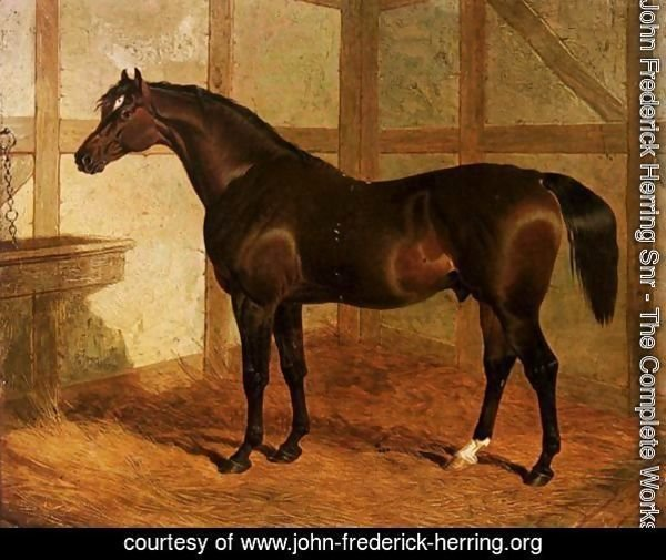 Partisan, A Dark Bay Racehorse In A Stable